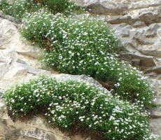 letos kratkodlaka popkoresa še posebej lepo cveti