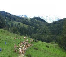 na planini Kuk se krave odpravljajo na večerno pašo