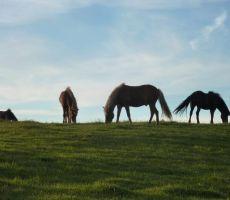 Islandski konji