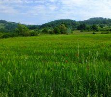 pot nas je peljala mimop žitnih polj...