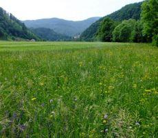 in cvetočih travnikov...