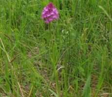 ena izmed orhidej - kukavic