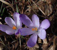 Pomladanski žafrani